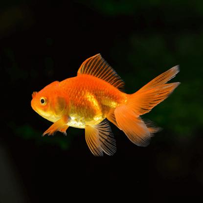 Picture of Ոսկե ձկնիկ
